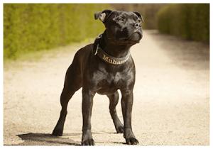 detailMain_staffordshire-bull-terrier